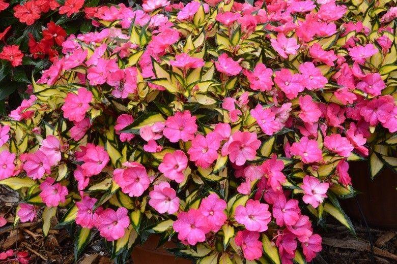 Fleurs annuelles serres louise turcotte - Impatiens de nouvelle guinee ...