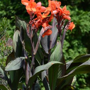 Canna 'Cannova Bronze Orange'