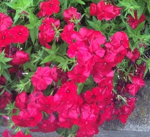Phlox Intensia Red Hot