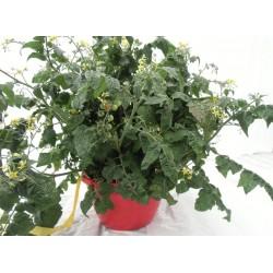 Tomate mini 'Tiny Tim' - Jardinière suspendue de 12 pouces