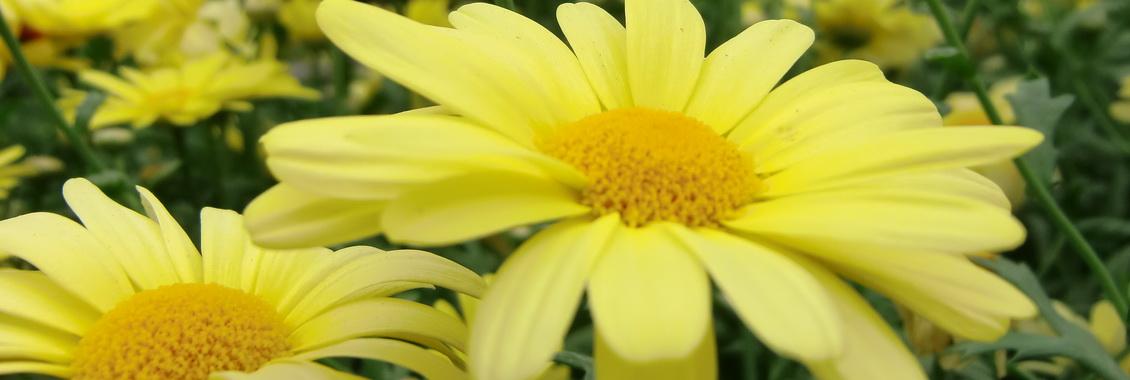 Plants de fleurs annuelles