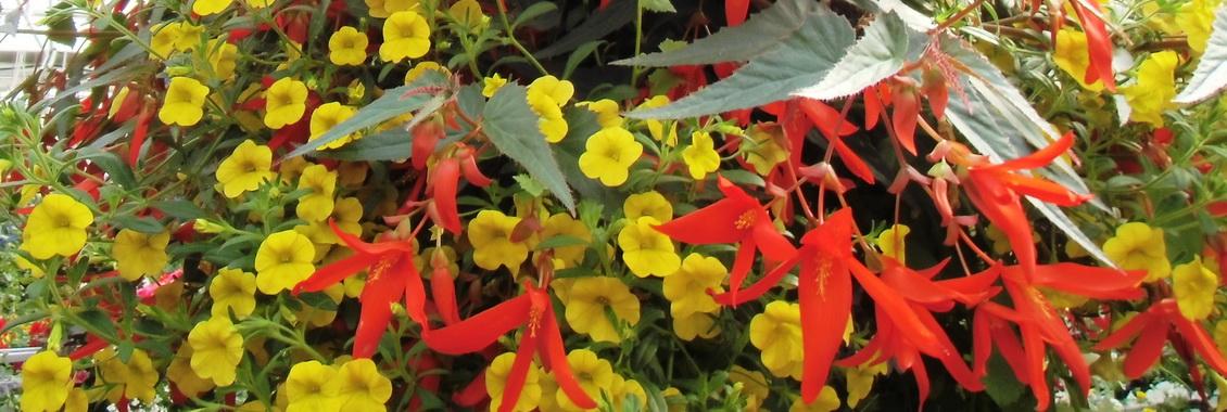 Begonia Santa Cruz et calibrachoa