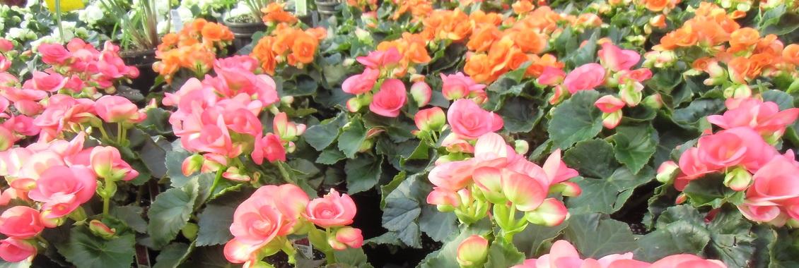 Plants de fleurs annuelles en pot